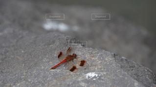 岩場に止まったアキアカネの写真・画像素材[1346011]