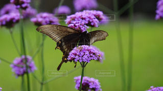 アザミの蜜を吸うミヤマアゲハの写真・画像素材[1346132]