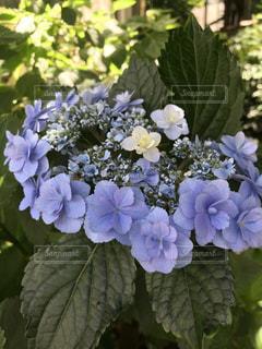 紫陽花の花冠の写真・画像素材[1337939]