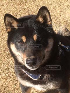 黒柴 イケメン犬の写真・画像素材[1337936]