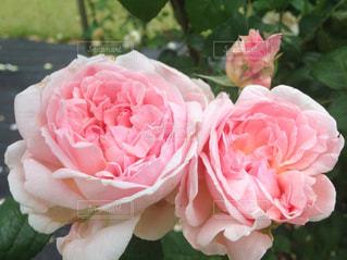 近くの花のアップの写真・画像素材[1341885]