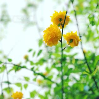 黄色の花の写真・画像素材[1338122]