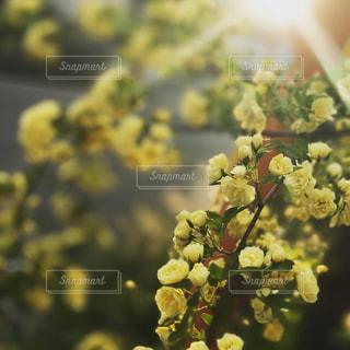黄色花と光の写真・画像素材[1338124]
