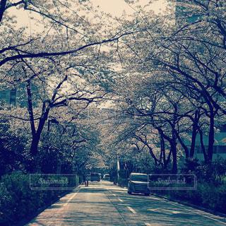 桜並木の写真・画像素材[1338259]