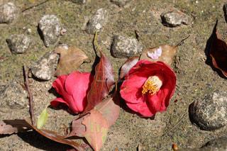 地面に落ちた椿の花の写真・画像素材[1338778]