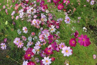 コスモスの花の写真・画像素材[1338792]