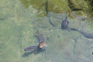 高松 栗林公園  亀と鯉の写真・画像素材[1338840]