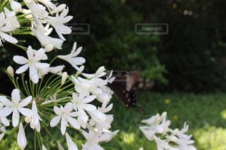 蝶々と白い花の写真・画像素材[1338896]