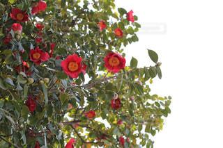ツバキの花の写真・画像素材[1338941]