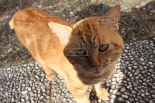 茶色の猫の写真・画像素材[1339019]