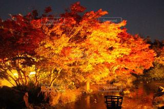 紅葉のライトアップの写真・画像素材[1339026]