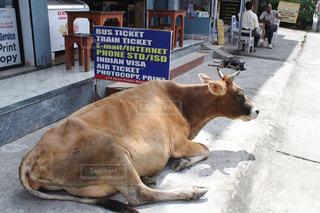 道端にしゃがみこむ大きな牛の写真・画像素材[1339034]