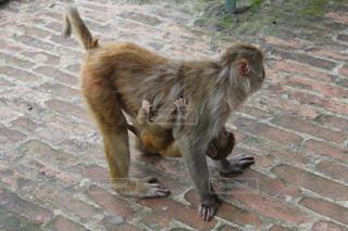 猿の親子の写真・画像素材[1339069]