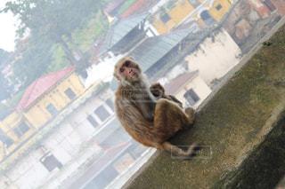 ネパールで撮影した猿の親子の写真・画像素材[1339071]