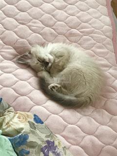 丸まって寝る子猫の写真・画像素材[1445349]