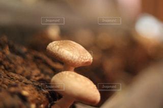 椎茸のアップの写真・画像素材[1521969]