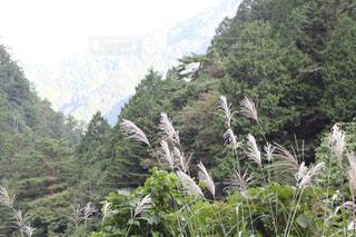 山とススキの写真・画像素材[1559601]