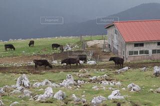 四国で出会った牛の群れの写真・画像素材[1559843]