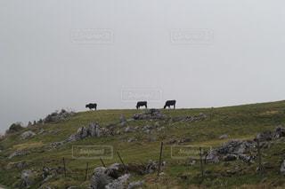四国で出会った牛の写真・画像素材[1559844]
