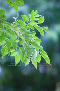 新緑と雨の写真・画像素材[1564960]
