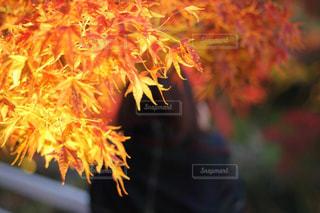 紅葉のアップと女性の後ろ姿の写真・画像素材[1567474]