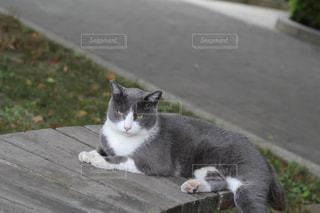 大学のベンチに寝そべる猫の写真・画像素材[1592618]