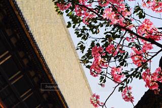 京都 三十三間堂の紅梅の写真・画像素材[1686105]