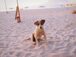 ビーチでのんびりする犬の写真・画像素材[1688842]