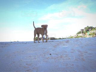 ビーチを歩く犬の写真・画像素材[1688909]