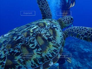 水中を泳ぐウミガメの写真・画像素材[2306440]