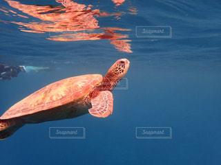 海中のウミガメの写真・画像素材[2306443]