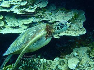 ウミガメの写真・画像素材[2306445]
