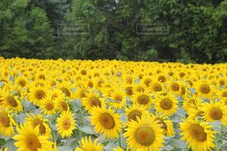 ひまわり畑の写真・画像素材[2386524]