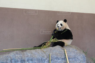 お食事中のパンダの写真・画像素材[2493749]