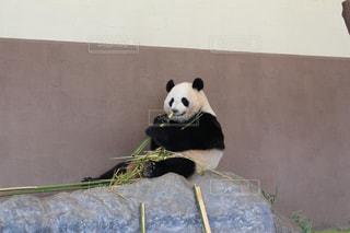 お食事中のパンダの写真・画像素材[2493750]