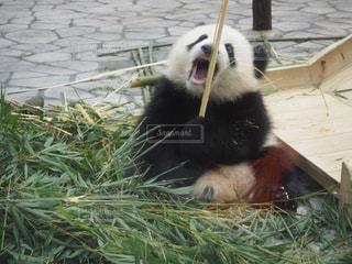 食事中のパンダの写真・画像素材[1355135]
