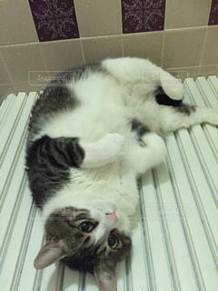 お風呂の蓋の上の猫の写真・画像素材[1339179]