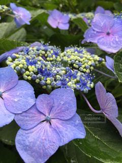 雨上がりの紫陽花の写真・画像素材[1340573]
