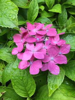 雨粒と紫陽花の写真・画像素材[1346964]