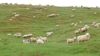 たくさんの羊の写真・画像素材[1341536]
