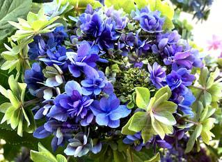 紫と緑が綺麗な額紫陽花の写真・画像素材[2177054]