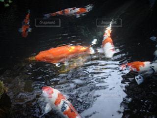 鯉の写真・画像素材[1340606]