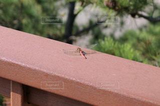 橋の手すりにとまっているトンボの写真・画像素材[1355616]