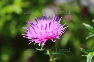 アザミの花の写真・画像素材[1358439]