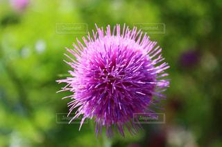 アザミの花の写真・画像素材[1358441]