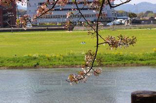 葉ので始めた桜の木の写真・画像素材[1365771]