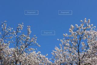 青空に映える桜の写真・画像素材[1365785]