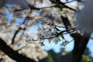 桜のアップの写真・画像素材[1365786]