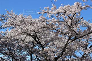 青空に映える桜の写真・画像素材[1365793]