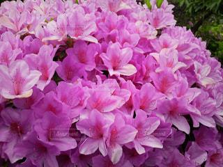 咲き誇るツツジの写真・画像素材[1365989]